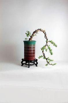 "Jade bonsai tree ""Winter Jade Collection"" by LiveBonsaiTree by LiveBonsaiTree on Etsy"