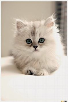 Persian cats - 13 Reasons to never get a Persian cat ;)