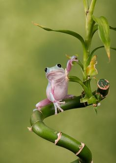 Photograph WhitesTree Frog by Robert Hook on 500px