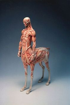 Anatomy of mythological creatures by Masao Kinoshita - Although, I would expect that in the example of a centaur, wouldn't the front legs be slightly more muscular than a normal horse in order to accommodate for the much heavier front end? Anatomy Poses, Anatomy Art, Human Anatomy, Animal Anatomy, Mythological Creatures, Fantasy Creatures, Mythical Creatures, Anatomy Sculpture, Sculpture Art