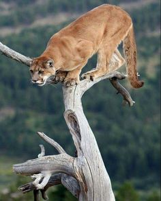 A Cougar Ready to Jump.
