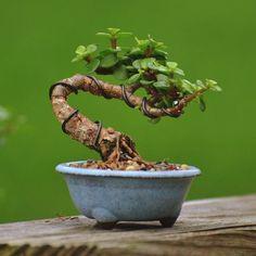 Image result for Richard-pham bonsai