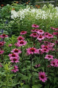 Echinacea 'Merlot', Phlox paniculata 'David'