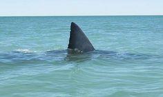 Allarme squalo nel Golfo: via tutti dal mare, alzata la bandiera rossa - Ansa