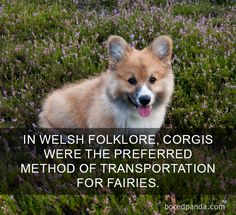 """Acquire terrific pointers on """"corgis puppies:. They are actually accessible for you on our web site. Pembroke Welsh Corgi Puppies, Corgi Dog, Corgi Doodle, Happy Facts, Corgi Facts, Cute Corgi, Training Your Dog, Crate Training, Happy Dogs"""