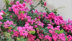 primavera (Bouganinvillea spectabilis)