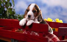 cute puppy - more here - http://www.songsbay.in/wallpapers/birds_animals/beagle_puppy.html