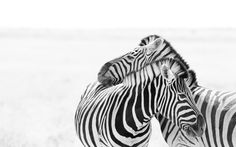 awesome Zebra