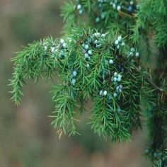 Juniper: Tree of Love Attraction Symbol of luck and protection. The Juniper tree has long been recognized as one of the most powerful of all fairy tales trees. In the language of flowers Juniper symbolizes perfect loveliness, beauty and protection.
