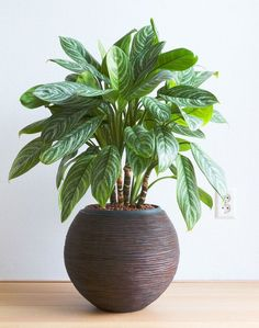 22 Stunning Aglaonema Varieties | Chinese Evergreen Types Best Indoor Plants, Cool Plants, House Plants Decor, Plant Decor, Chinese Evergreen Plant, Low Light Plants, Parts Of A Plant, Spider Plants, Flower Pots