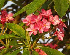 Fleur De Frangipanier, Fleurs, Rose, Nature, Tropicaux