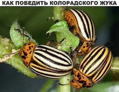 Как победить колорадского жука 0