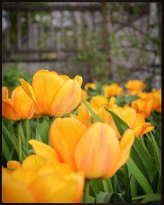 #kumpulankasvitieteellinenpuutarha #tulppaani #flowerstagram #flowersofinstagram #flowers #flor #flora #flowerslovers #garden #inthegarden #kevät #spring #tulips http://gelinshop.com/ipost/1523632799326907125/?code=BUlB_VcA6r1