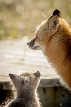 Red Foxes by Kris Tynski - National Geographic Your Shot Tier Fotos, Red Fox, National Geographic Photos, Your Shot, Amazing Photography, Funny Animals, Foxes, Places To Visit, Wildlife