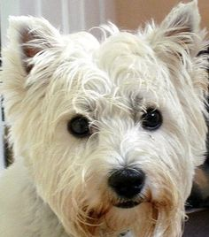 Step by step tips to groom your West Highland terrier