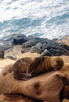 little seal sleeping