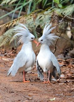 The Kagu is a flightless bird with grey plumage, which has led to the name of 'ghost of the forest' by local people. Endemic to New Caledonia in the South Pacific.