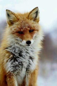Red fox..