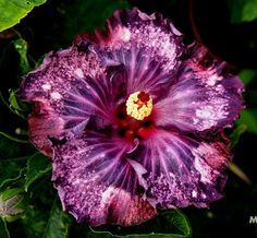 Flower Gardening colors giant hibiscus seeds Dinnerplate Hibiscus Perennial Flower Flower for home garden planting Hibiscus Plant, Hibiscus Flowers, Exotic Flowers, Tropical Flowers, Amazing Flowers, Beautiful Flowers, Lilies Flowers, Cactus Flower, Purple Flowers