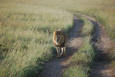 Leeuw in Tarangire National Park, Tanzania, Erna & Bert --reiservaring-- #Tanzania #Tarangire National Parkhttp://www.mambulu.com/over-ons/reiservaringen/191-erna-en-bert-stavenisse.html