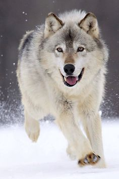 Playful Galloping Wolf