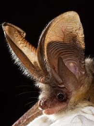 Big brown bat eptesicus fuscus do not attempt to feed or for Everett tattoo emporium