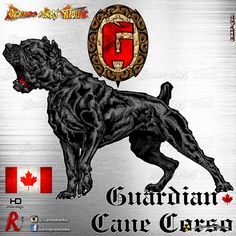 Informations About Guardian Cane Corso Kennel Logo Design Development CANADA Customer by Cane Corso Kennel, Thai Ridgeback, Online Dog Training, Presa Canario, Dog Kennel Cover, Alpha Dog, War Dogs, Dogs Of The World, Beautiful Dogs