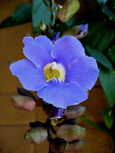 "Heavenly Blue, Thunbergia grandiflora ""sky vine"""