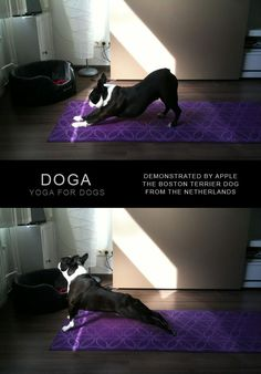 Doga, Yoga for Dogs Demonstrated by Apple the Boston Terrier from the Netherlands (Photo) - http://www.bterrier.com/doga-yoga-for-dogs-demonstrated-by-apple/ - https://www.facebook.com/bterrierdogs