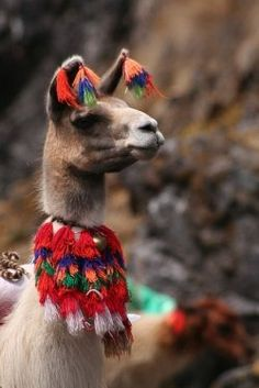 This llama looks positively regal! (-: