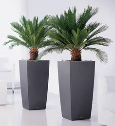 Grey and Sago palms...I would add uplighting inside the planters onto the palms...dramatic!!
