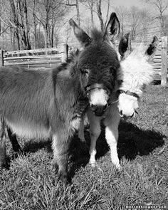 Aren't Martha Stewart's miniature donkeys, Rufus and Clive, adorable?