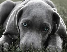 Weimaraner! I can't wait to get our puppy in November! I think Ant and I decided on Graddy for the name...I like Oscar, maybe Ant will cave, lol.