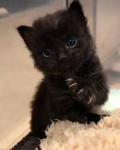 Diego's the name and grooming is my game. pleased to meet ya' . Cute Little Kittens, Cute Black Cats, Cute Little Animals, Cute Kittens, Cute Funny Animals, Black Kittens, Black Cat Aesthetic, Arte Steampunk, Foto Fun