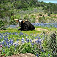 Bluebonnets Texas Hill Country | Bluebonnet pics by Texas Hill Country
