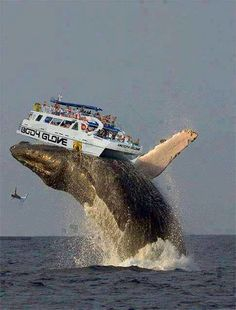 A Whale Lifted the Boat Accidentally in Hawaii Its true not fake. The team of the boat (Body Glove) also injured in this incident. Animals And Pets, Funny Animals, Cute Animals, Animals Sea, Cool Pictures, Cool Photos, Beautiful Pictures, Animal Pictures, Wale