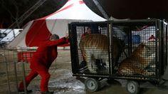 Tigres en cage dans un cirque Le 21 mai 2016, Sabine Landais décrochait des affiches publicitaires du cirque Bouglione, installées en toute illégalité. Ces affiches sont une véritable pollution visuelle, sans parler du gaspillage et de l'impact environnemental....