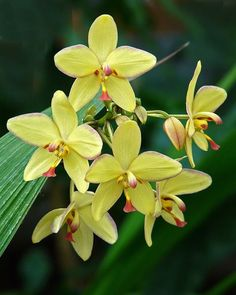 Yellow Ground Orchid