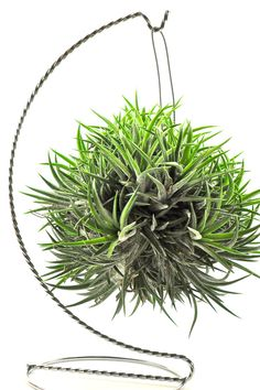 Tillandsia Ionantha grows ion clumps like this which looks pretty cool. But you can also divide this into a lot more plants just by pulling it apart!