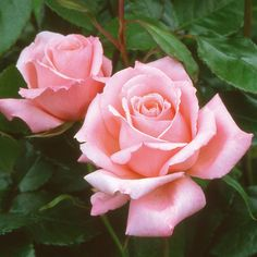 """ Congratulations "" also known as ""Sylvia"" and ""KO 69/451"" - Orange-pink Hybrid Tea Rose - Kordes - 1979"