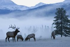 size: Photographic Print: Rocky Mountain Bull Elk and Cows, Frosty Morning by Ken Archer : Elk Images, Elk Pictures, Alaska, Cow Elk, Elk Silhouette, Bull Elk, Hunting Art, Wildlife Art, Animal Photography