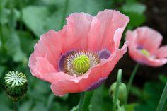 Papaver Somniferum  Rosa  / Schlafmohn (frisch & keimfähig) - (1000 Samen)