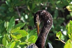 """Jan Nagalski (off for awhile) posted a photo:  On my first birding trip to Florida six years ago, the first picture I took was of an Anhinga. So, I thought it would be appropriate to post this Anhinga for this year's first picture.  This grooming Anhinga was seen at J.R.""""Ding"""" Darling National Wildlife Refuge. It's amazing to me how the long-necked birds are able to twist their necks into contorted positions."""