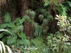 Begonia luxurians - one for my lust list.