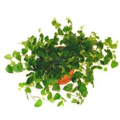 Ficus pumila Minima en pot Ø9cm - Matériel-Mur-Végétal.fr