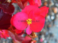 Red and Yellow Begonia Flower Photograph Art