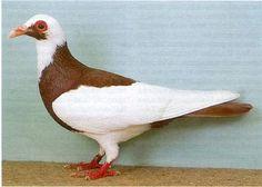 Pombos para todos os gostos - Outras Aves - Forum Canaricultura Tuga: Canarios de Portugal para o Mundo