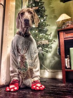 Lager the Weimaraner More