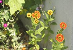 June 2014 Helenium Hybridum 'Waldtraut'