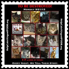 TO BE DESTROYED  09/21/15 - - Info  TO BE DESTROYED -  Click for info & Current Status: http://nyccats.urgentpodr.org/montage-071215/